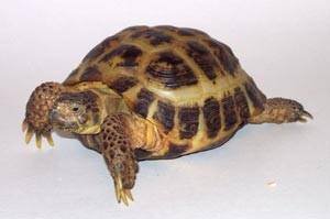 torty