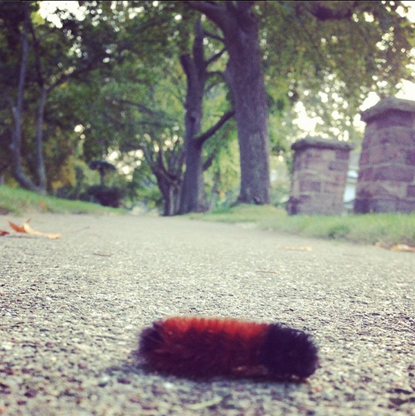 All Black Woolly Bear Caterpillars: Ljcfyi: Wooly Bears